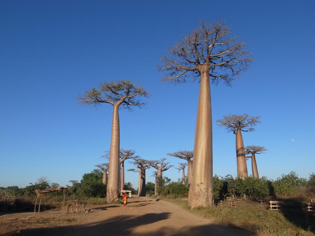 マダガスカルのばおばぶの木